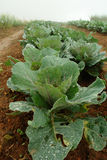 Plant green cabbage fresh. Planting fresh green cabbage from convert vegetable on brown moist soil, Dew on the leaves of cabbage in the morning fog on morning royalty free stock photos