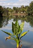 Plant in green color with large leaves in front of a lake causing incredible reflection. Of the blue sky in the water real nature scene Royalty Free Stock Photos