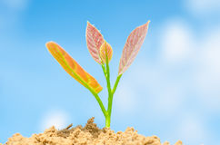 Plant. With green leaves growing from a handful of earth Royalty Free Stock Photo