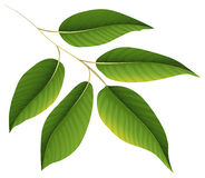 A plant with green leaves Royalty Free Stock Images