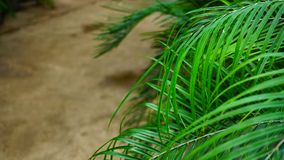 Young pine has turned yellow from sun.n. Plant with green needles on twigs, close-up photography. Small pine has turned yellow from sun. concept of modern Royalty Free Stock Photos