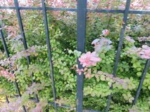 Plant with green and red leaves over the fence Royalty Free Stock Photo