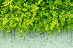 Plant green shrub in garden Royalty Free Stock Images