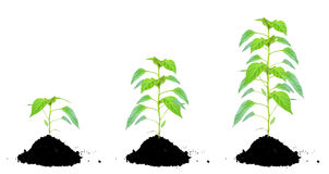 Plant green and soil Stock Images