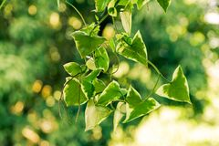 Plant with green triangle leaves. With white edges Royalty Free Stock Image