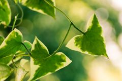 Plant with green triangle leaves. With white edges Stock Image