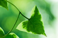 Plant with green triangle leaves. With white edges Royalty Free Stock Photography
