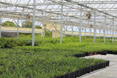 Plant Greenhouse. A Plant nursery growing different types of plants like plumbago, lantana, salvia, and annuals Stock Images