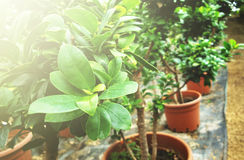 The plant in the greenhouse. Plants is a hobby which soothes Royalty Free Stock Image