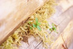 Plant. The plant grew among the moss between the logs of a log house Stock Photo