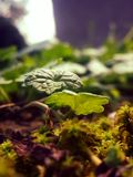 Ground-ivy Stock Images