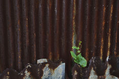 Plant grow on rusted metal sheet Royalty Free Stock Image