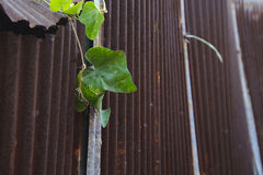 Plant grow on rusted metal sheet Royalty Free Stock Photo