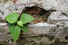Plant grow up on cracked wall Royalty Free Stock Photo