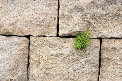 Plant grow up on rock brick wall Royalty Free Stock Photography