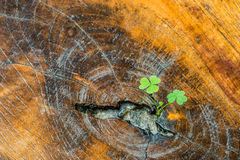 Plant grow on wood Royalty Free Stock Images