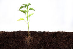 Plant growing Royalty Free Stock Images
