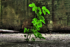 Plant growing in abandoned factory. Leafy green plant growing in abandoned factory building Royalty Free Stock Photography
