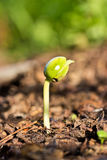 Plant growing - Beginning Royalty Free Stock Photography