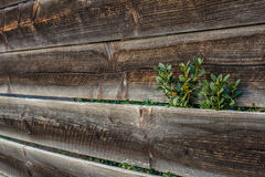 Plant growing beyond wooden fence Royalty Free Stock Photography
