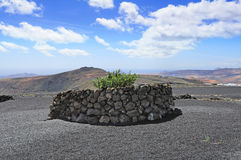Plant protected from  by rock's barriers at Lanzarote Island, Ca Stock Photo