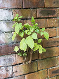 Plant growing between the bricks of a wall Royalty Free Stock Images