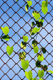 Plant growing on chainlink fence Stock Image