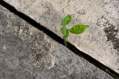Plant growing from concrete. Young plant growing from concrete Royalty Free Stock Photos