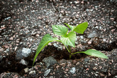 Plant growing from crack in asphalt. Green plant growing from crack in asphalt stock photo