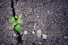 Plant growing from crack in asphalt. Green plant growing from crack in asphalt stock images