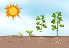 Plant growing at different stages Stock Image