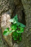 Plant Growing in a Hollow of a Tree - 2 Stock Photos