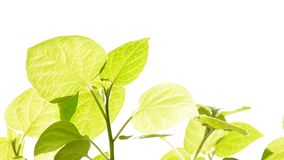 Plant growing isolated on white. stock footage