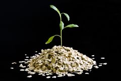Plant Growing From Oatmeal Royalty Free Stock Photography