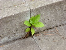 Plant Growing out of Concrete Royalty Free Stock Photography