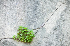 Plant growing out of an old wall Stock Image