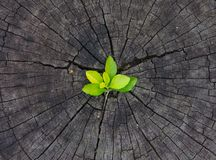 Plant growing out of a tree stump royalty free stock photo