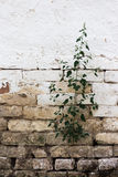 Plant growing out of the wall Royalty Free Stock Photos