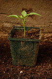 Plant Growing Royalty Free Stock Photos
