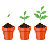 Plant Growing in the pot. Stock Photography