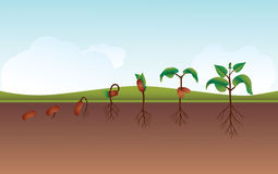 Plant growing process illustration Stock Photography