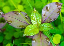 Plant growing with rain. New born plant growing with rain on the Royalty Free Stock Photos