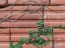 Plant growing on red brick Stock Photography