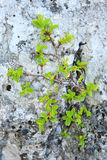 Plant growing on rock. Closeup of a green leafy plant growing in a crack in a rock Stock Photography