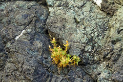 Plant growing in rock crack, Oregon Royalty Free Stock Image