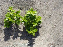 Plant growing in sand Stock Image