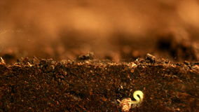 Plant growing. Seed growing from soil. Underground and overground view. stock footage