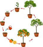 Plant growing from seed to orange tree. Life cycle plant Royalty Free Stock Photo