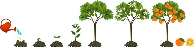 Plant growing from seed to orange tree. Life cycle plant. Stages of growth of an orange tree stock illustration
