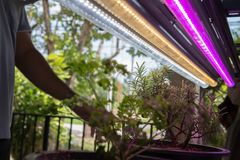 Plant growing in smart indoor farm with artificial led light. ph. Plant growing in smart indoor farm with artificial led light. spectrum phyto lamp for seedling stock photo